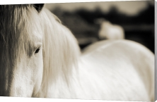 Horse of the Camargue