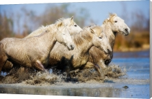Horses of the Camargue